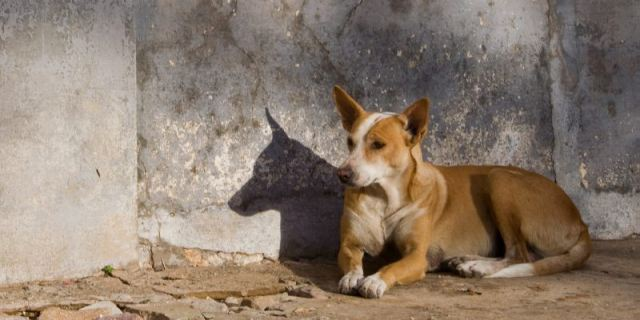 portuguese dog
